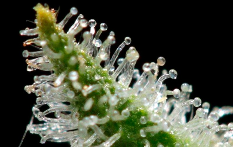 Terpenes close up.